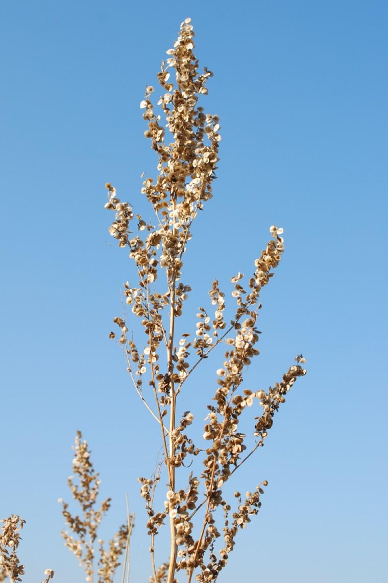 Atriplex hortensis 18