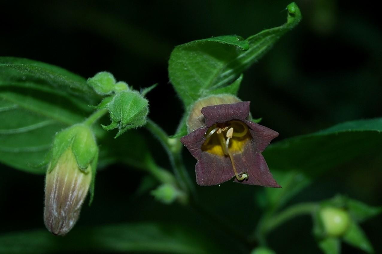 Atropa belladonna 5