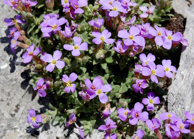 Aubrieta columnae subsp. columnae
