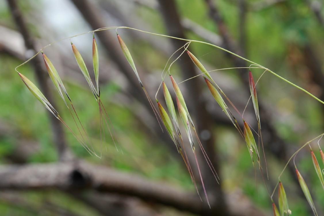 Avena barbata subsp. barbata 3