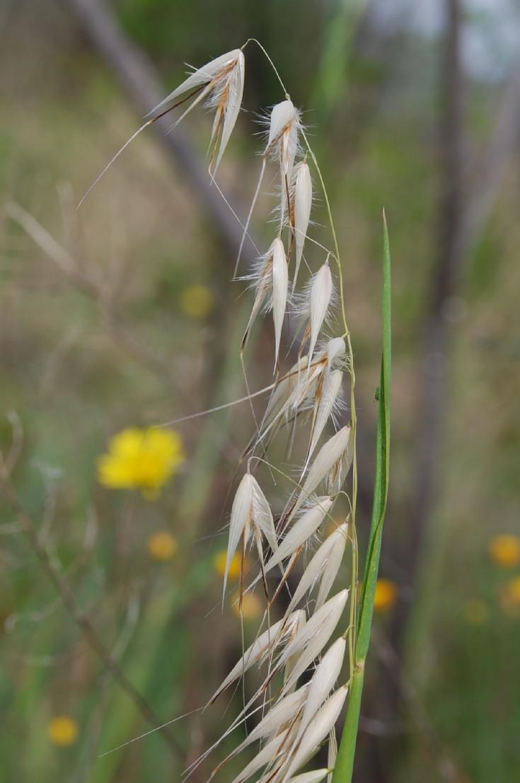 Avena barbata subsp. barbata 4