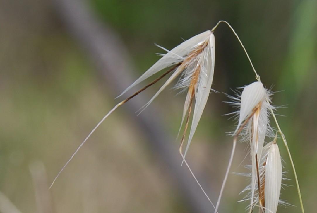 Avena barbata subsp. barbata 5
