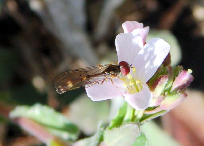 Baccha elongata -  Syrphidae