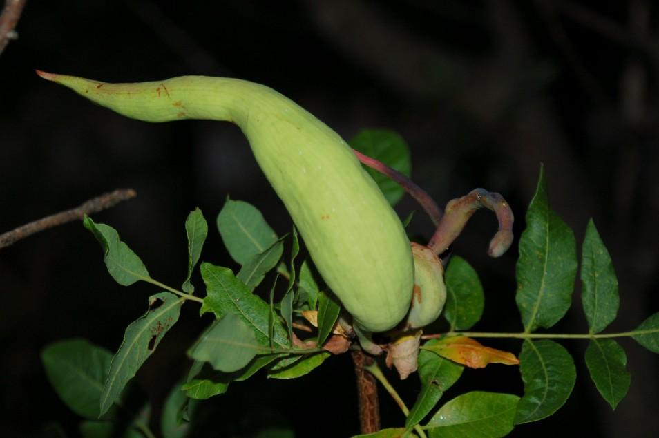 Baizongia pistaciae - Rhynchota, Aphidoidea