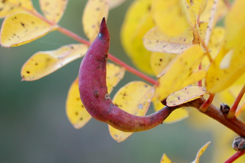 Baizongia pistaciae - Rhynchota, Aphidoidea 2