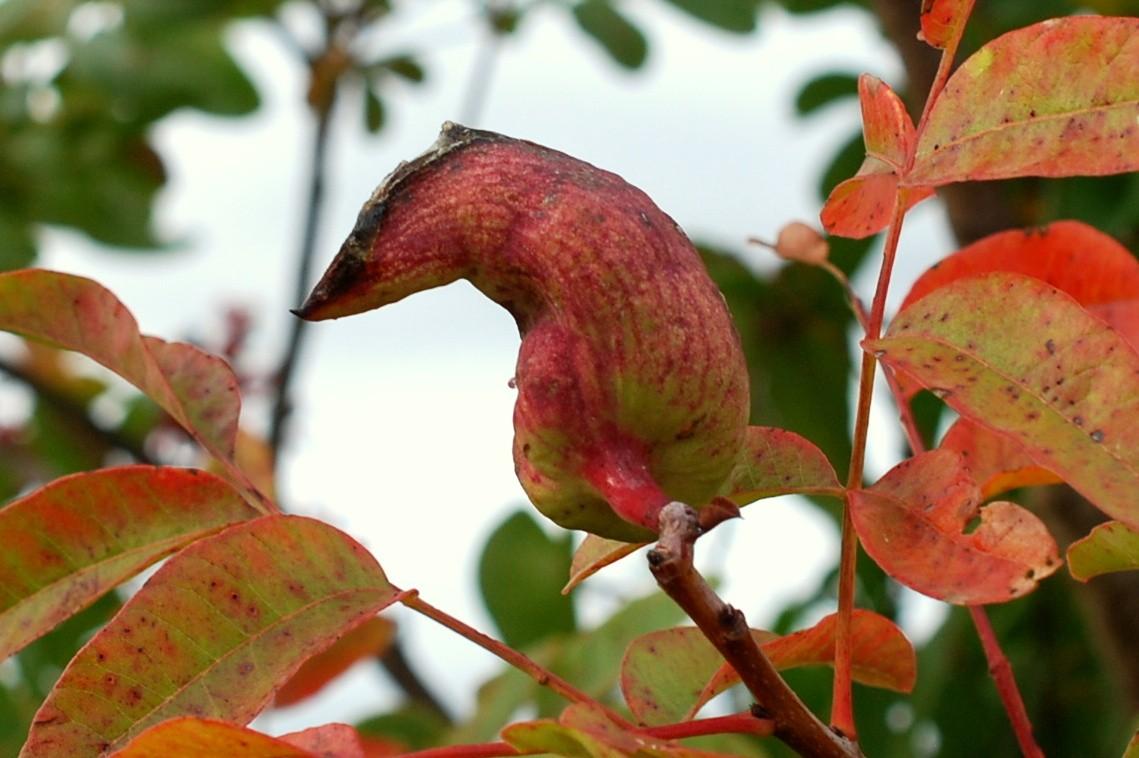 Baizongia pistaciae - Rhynchota, Aphidoidea 4