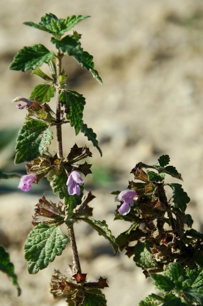 Ballota nigra subsp. meridionalis 4