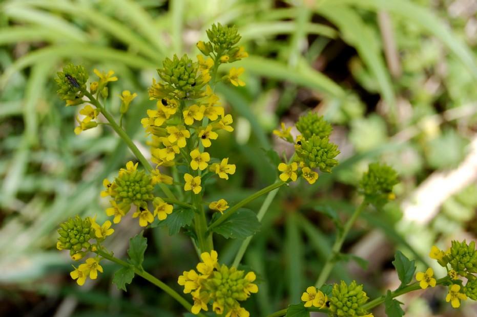 Barbarea vulgaris subsp. vulgaris
