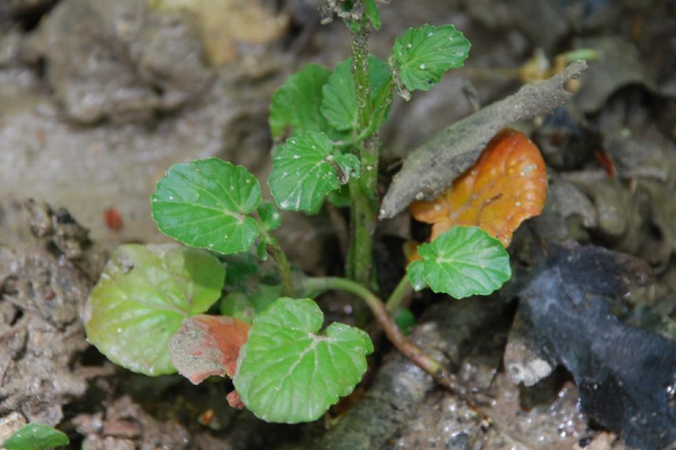Barbarea vulgaris subsp. vulgaris 12