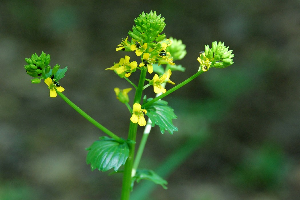 Barbarea vulgaris subsp. vulgaris 16