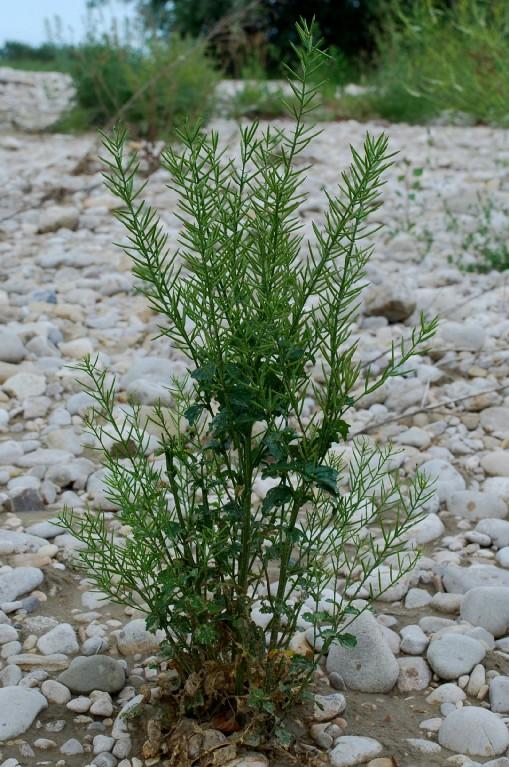Barbarea vulgaris subsp. vulgaris 20