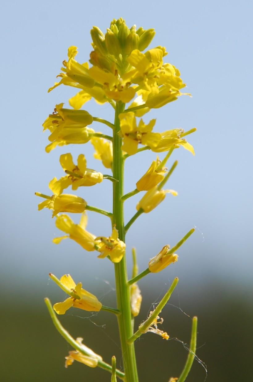 Barbarea vulgaris subsp. vulgaris 6