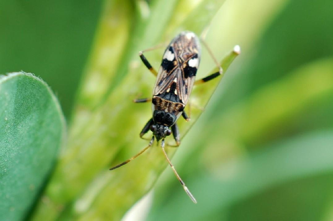 Beosus maritimus - Lygaeidae