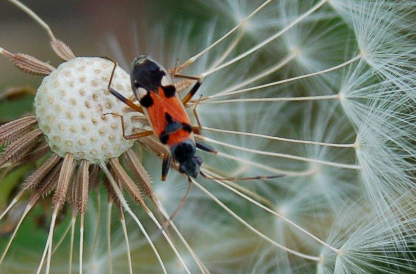Beosus quadripunctatus - Lygaeidae
