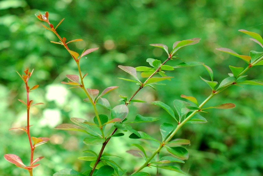 Berberis sp. 5