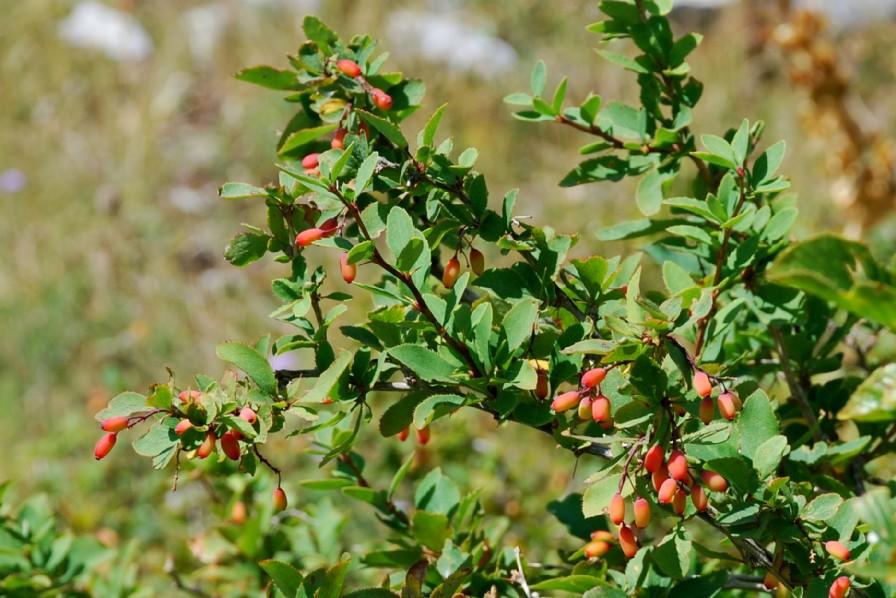 Berberis vulgaris subsp. vulgaris