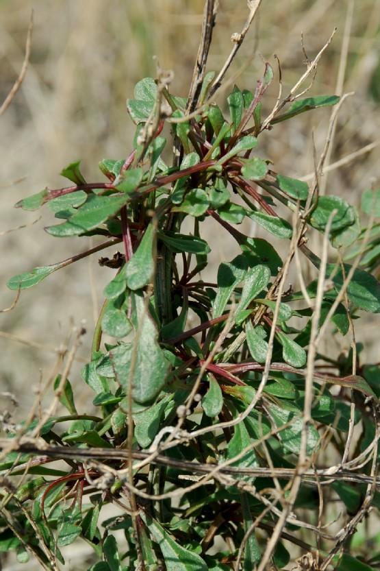 Beta vulgaris subsp. maritima 4