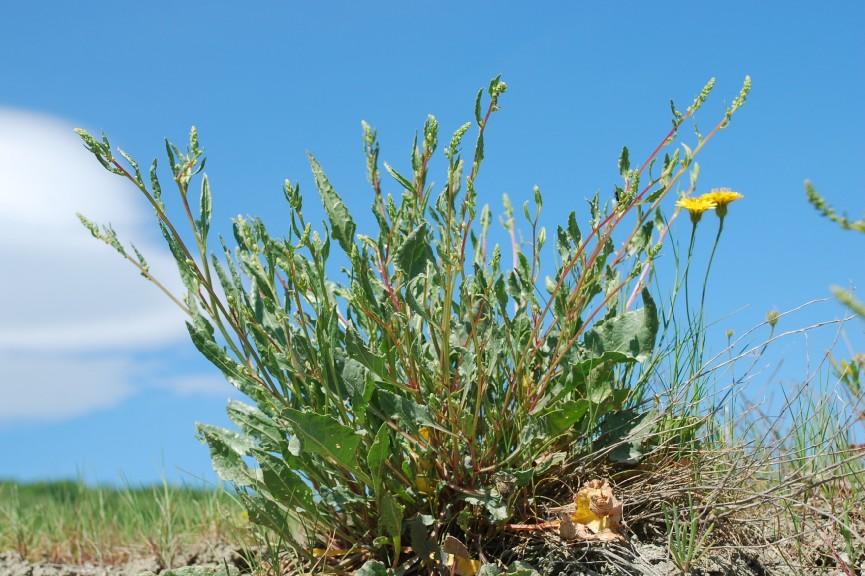 Beta vulgaris subsp. maritima 8