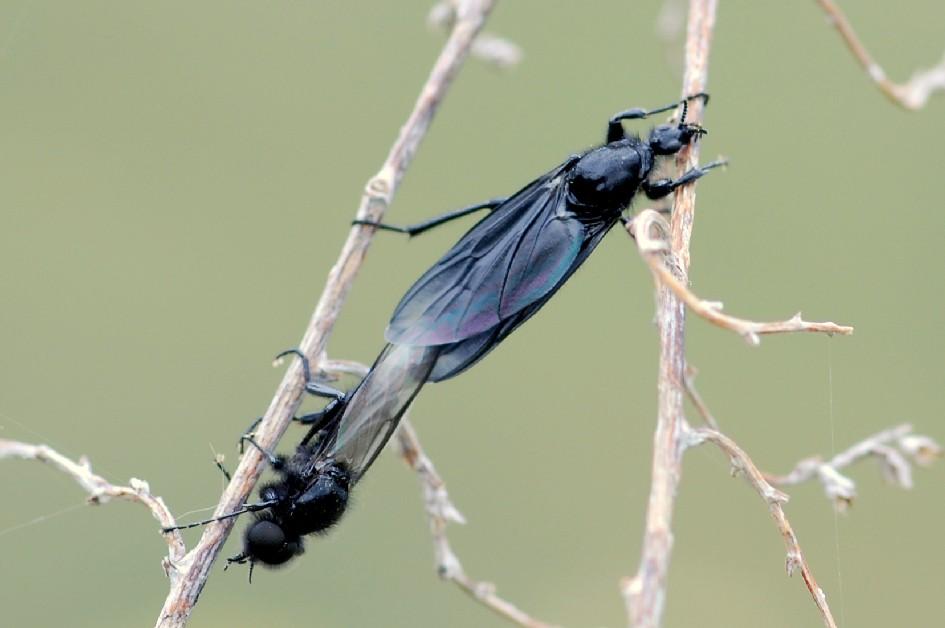 Bibio marci - Bibionidae
