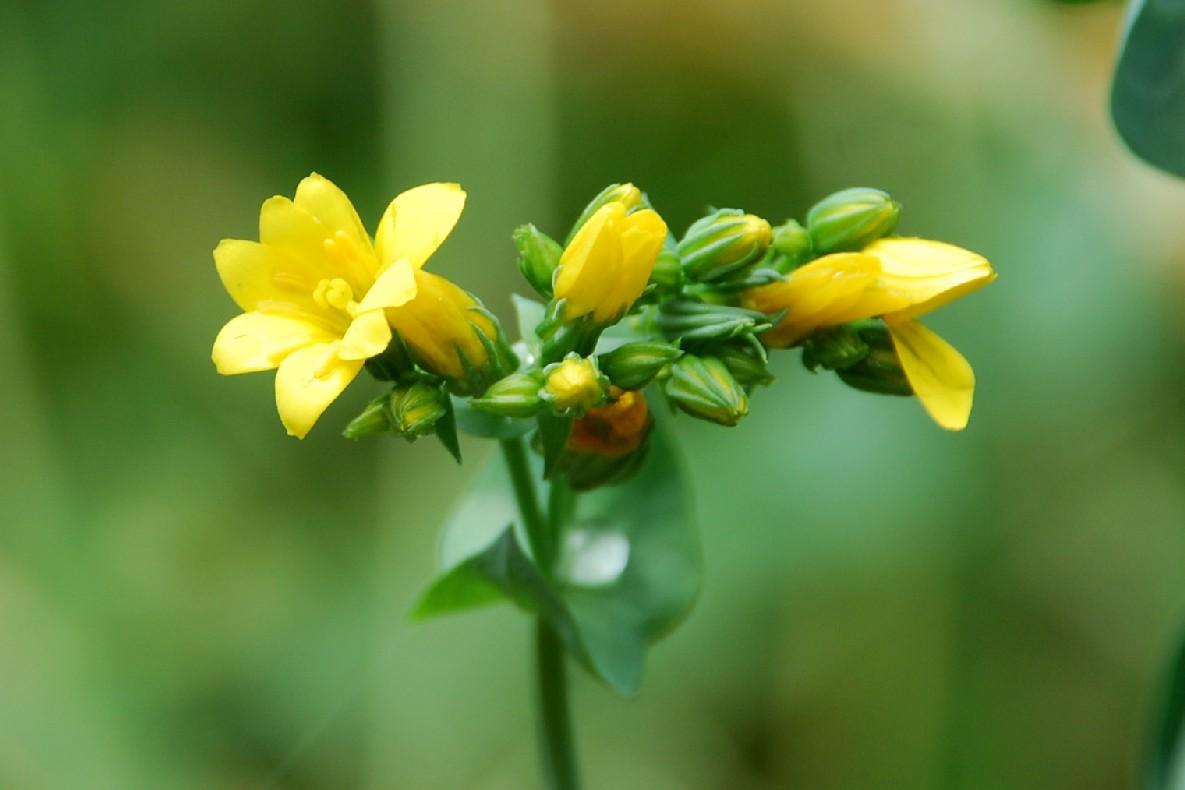 Blackstonia perfoliata subsp. perfoliata 11