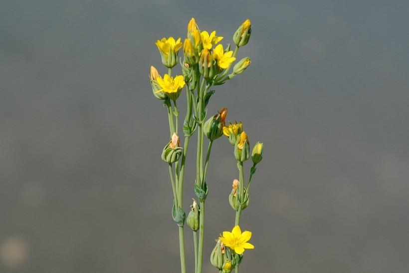 Blackstonia perfoliata subsp. perfoliata