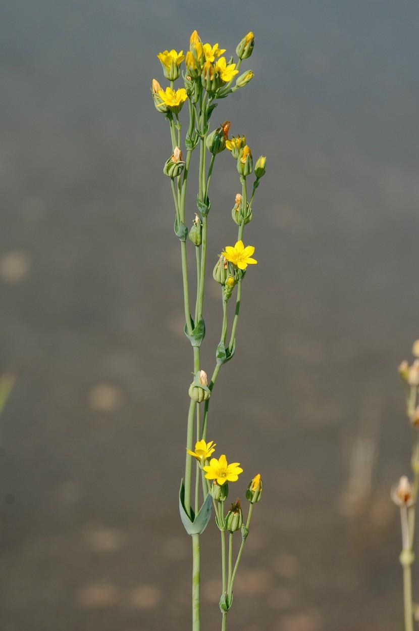 Blackstonia perfoliata subsp. perfoliata 14