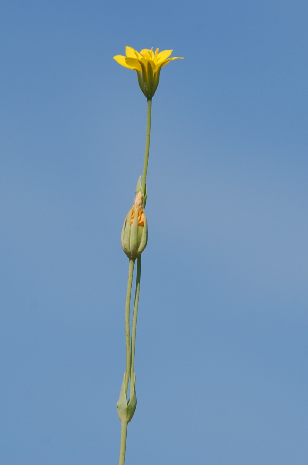Blackstonia perfoliata subsp. perfoliata 6