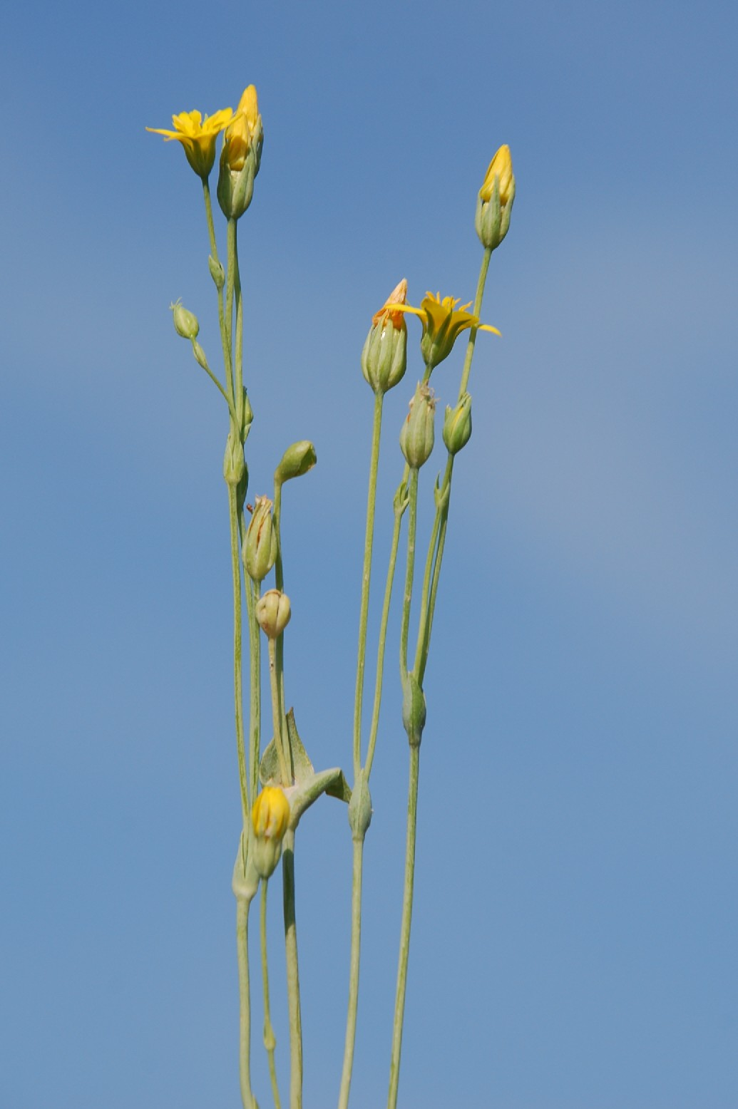 Blackstonia perfoliata subsp. perfoliata 7
