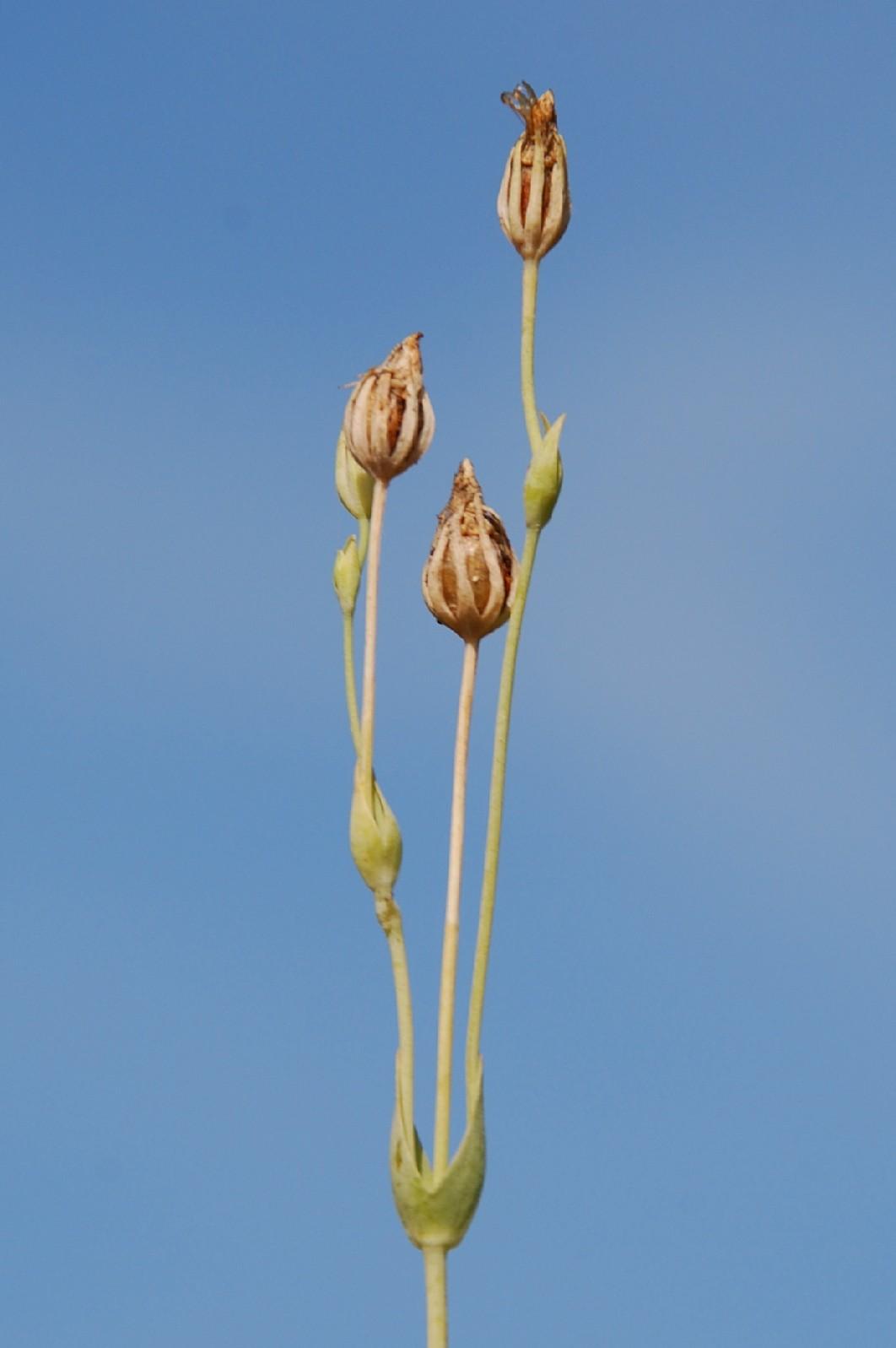 Blackstonia perfoliata subsp. perfoliata 9