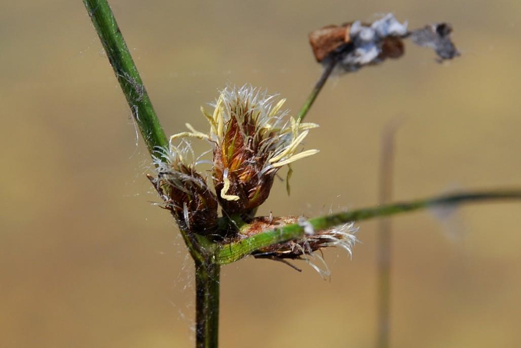 Bolboschoenus maritimus 5