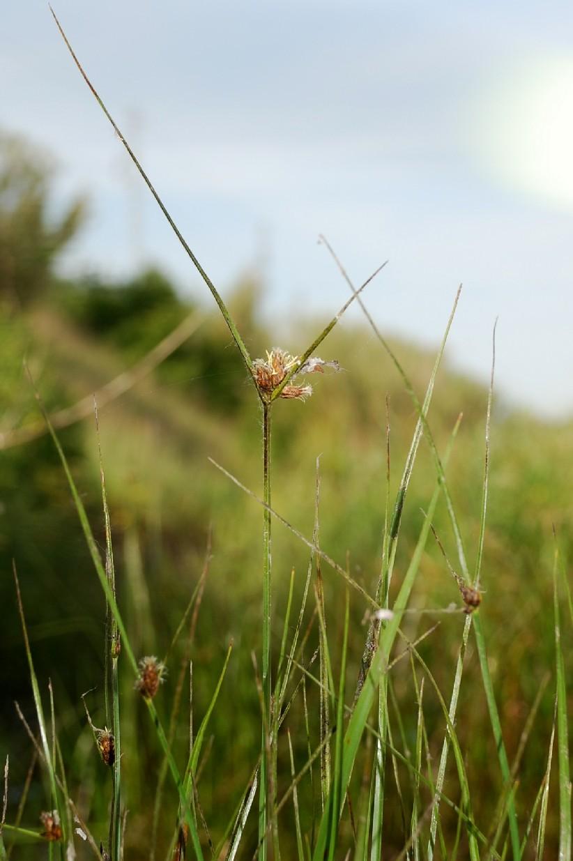 Bolboschoenus maritimus 6