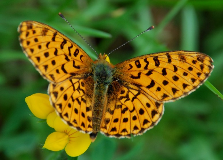Boloria(Clossiana) euphrosyne - Nymphalidae
