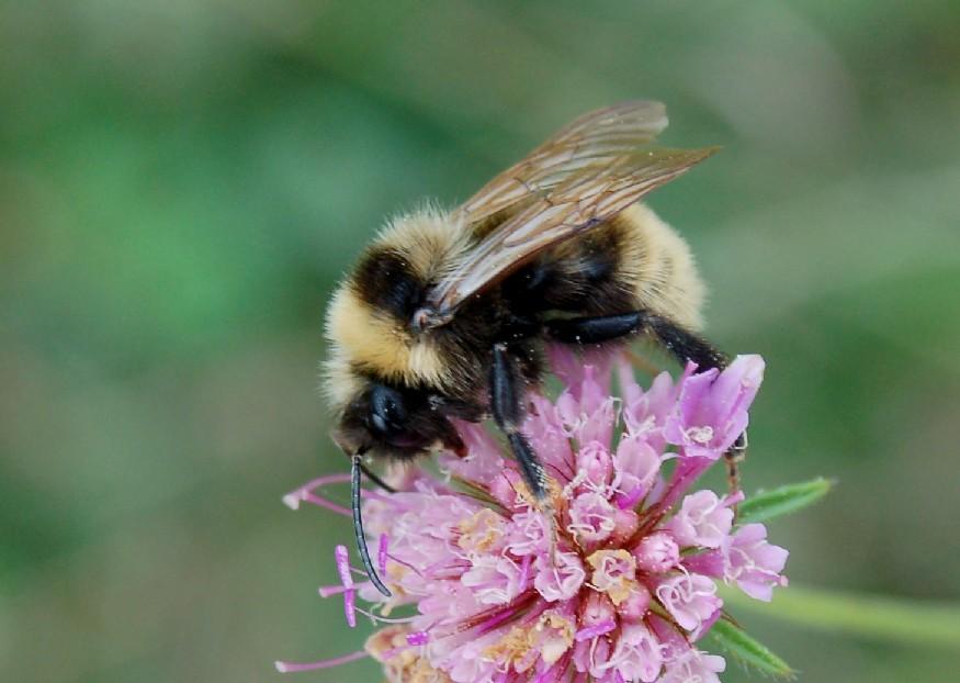 Bombus campestris - Apidae