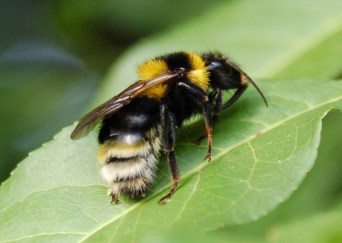 Bombus hortorum - Apidae