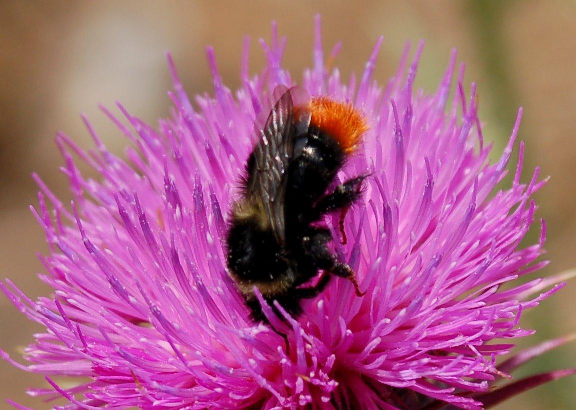 Bombus lapidarius - Apidae