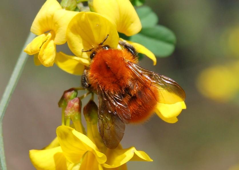 Bombus pascuorum - Apidae