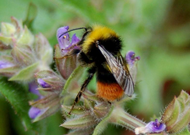 Bombus pratorum - Apidae