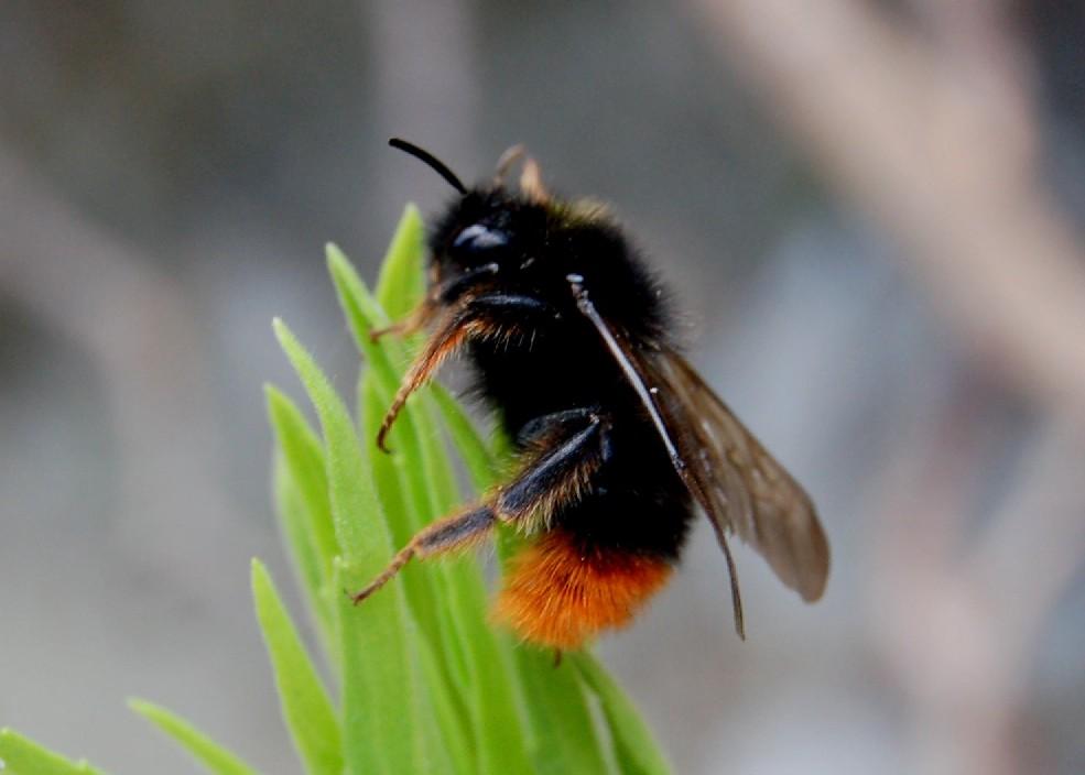 Bombus ruderarius - Apidae