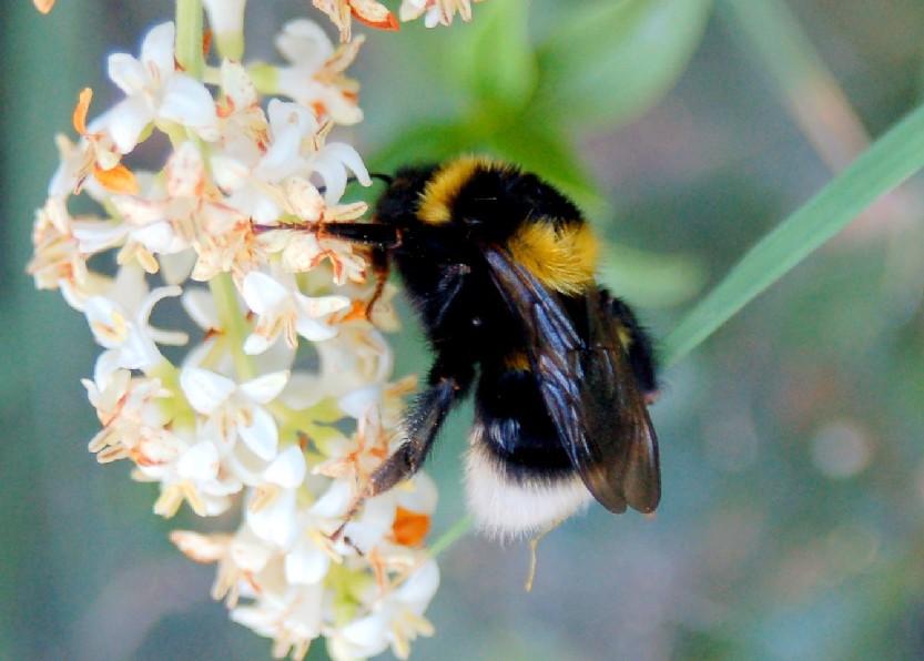 Bombus ruderatus - Apidae