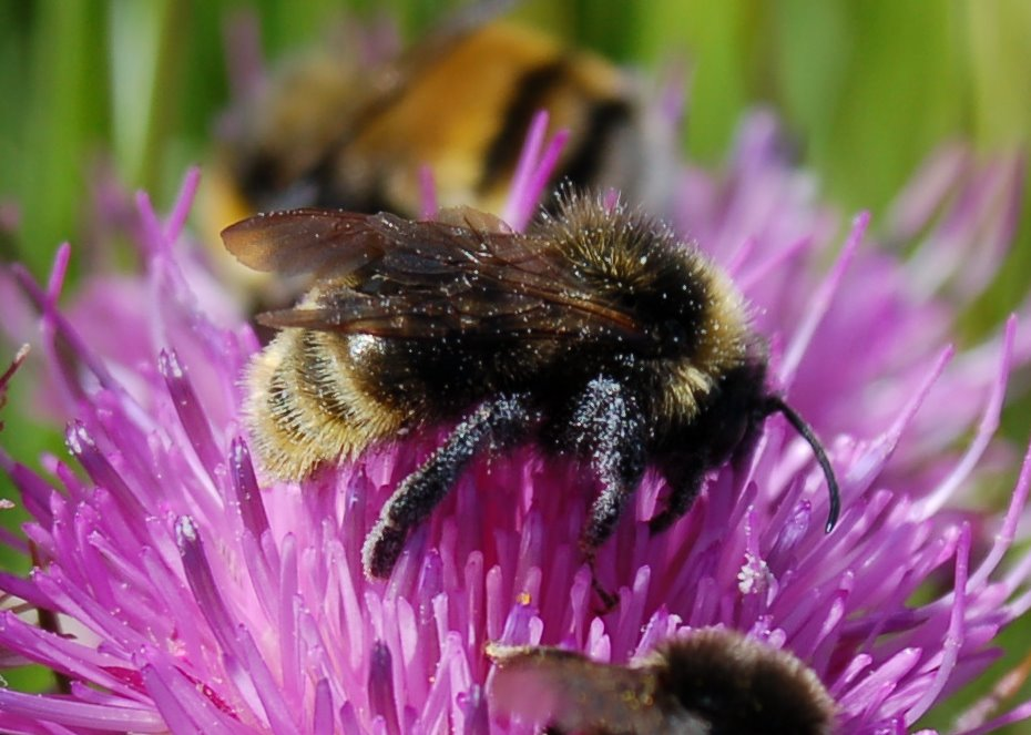 Bombus rupestris - Apidae