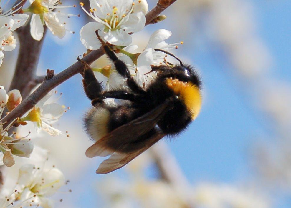 Bombus sp. - Apidae