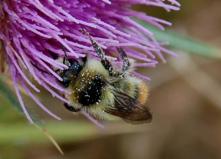 Bombus sylvarum - Apidae