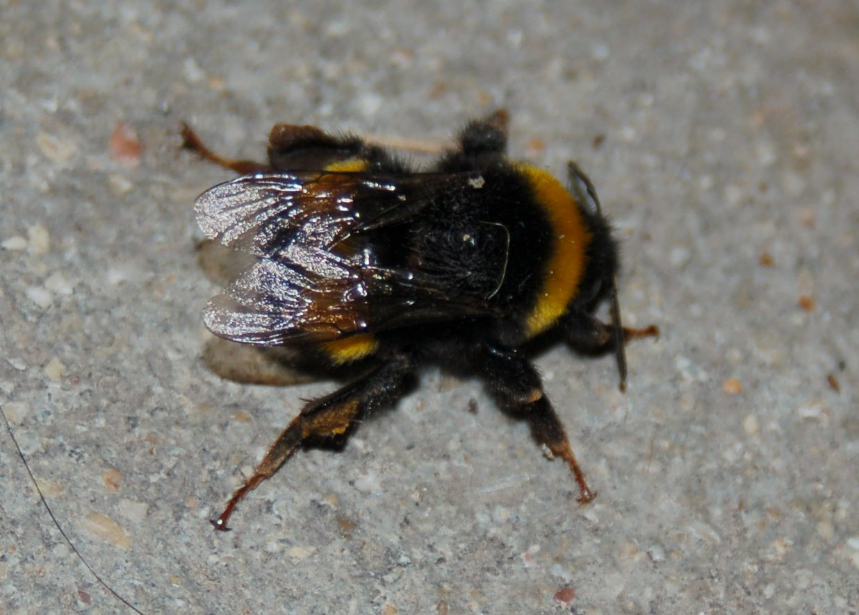 Bombus terrestris - Apidae