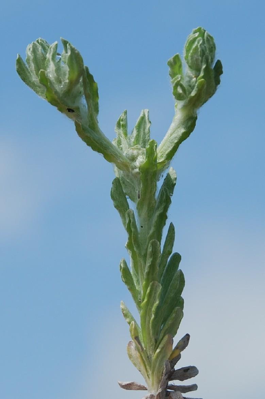 Bombycilaena erecta 2