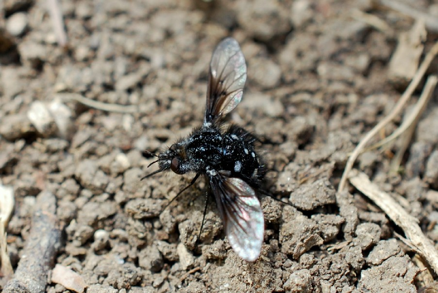 Bombylella atra - Bombyliidae