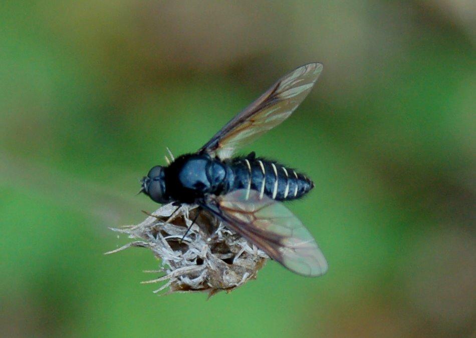 Bombyliidae (1)