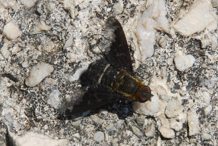 Bombyliidae (11)