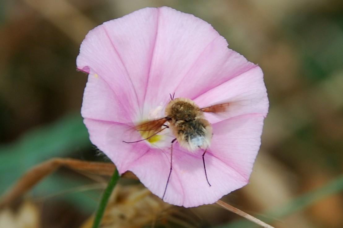 Bombyliidae (12)
