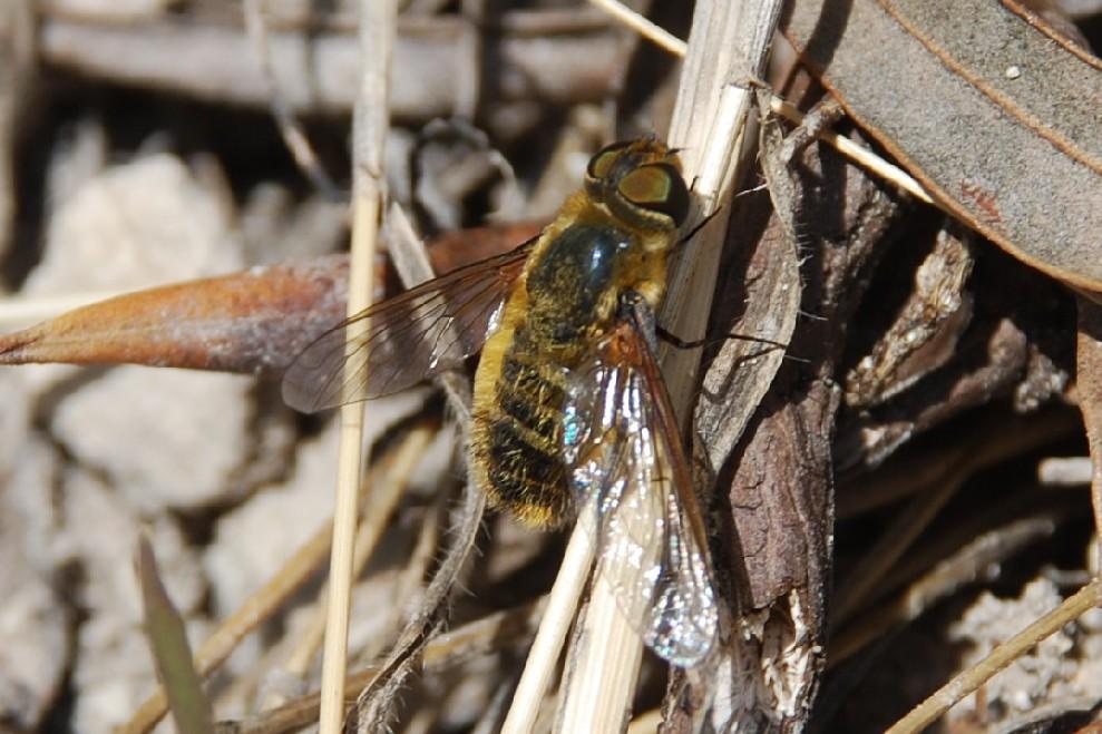 Bombyliidae (5)