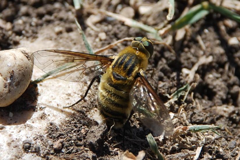 Bombyliidae (6)